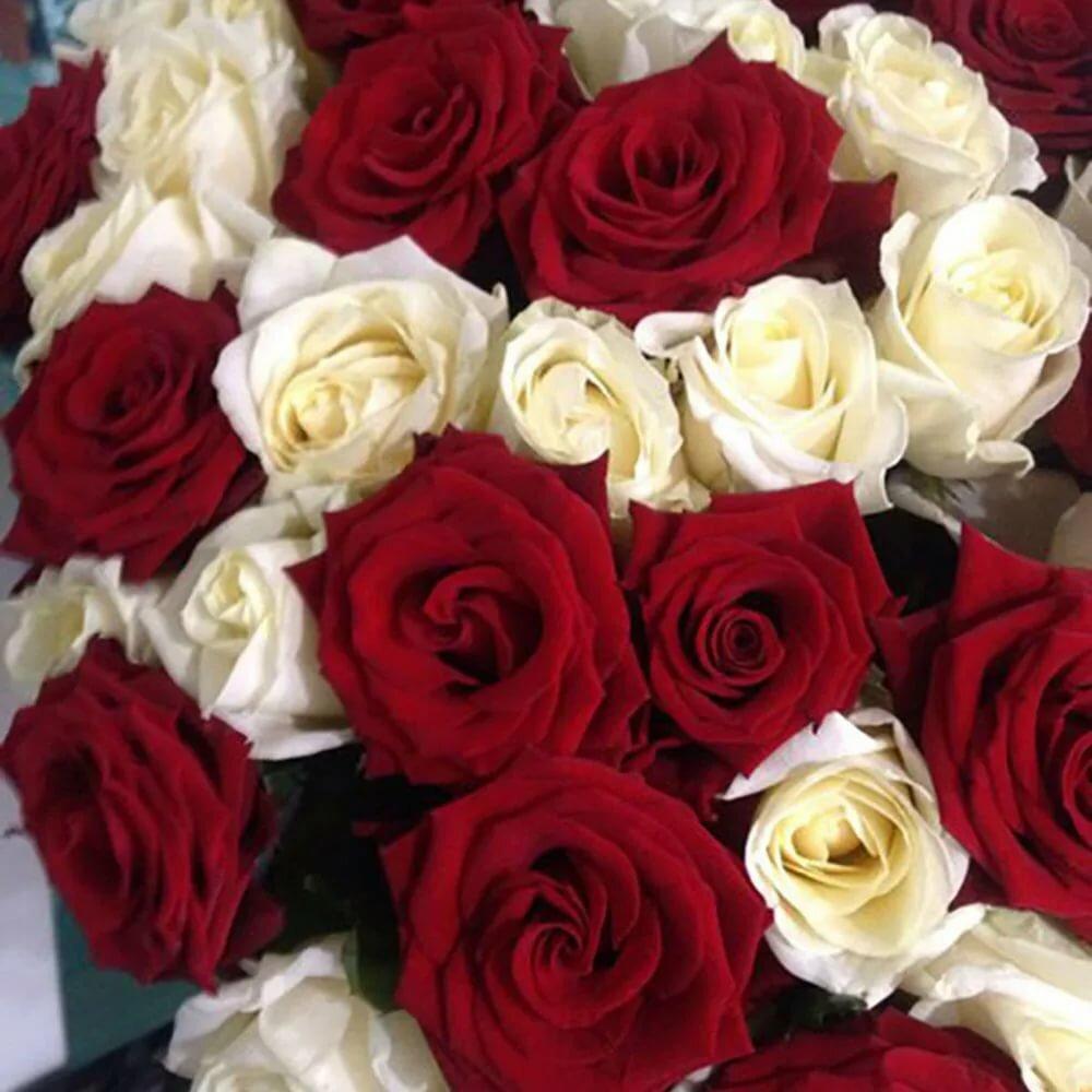 Картинки бело красных роз