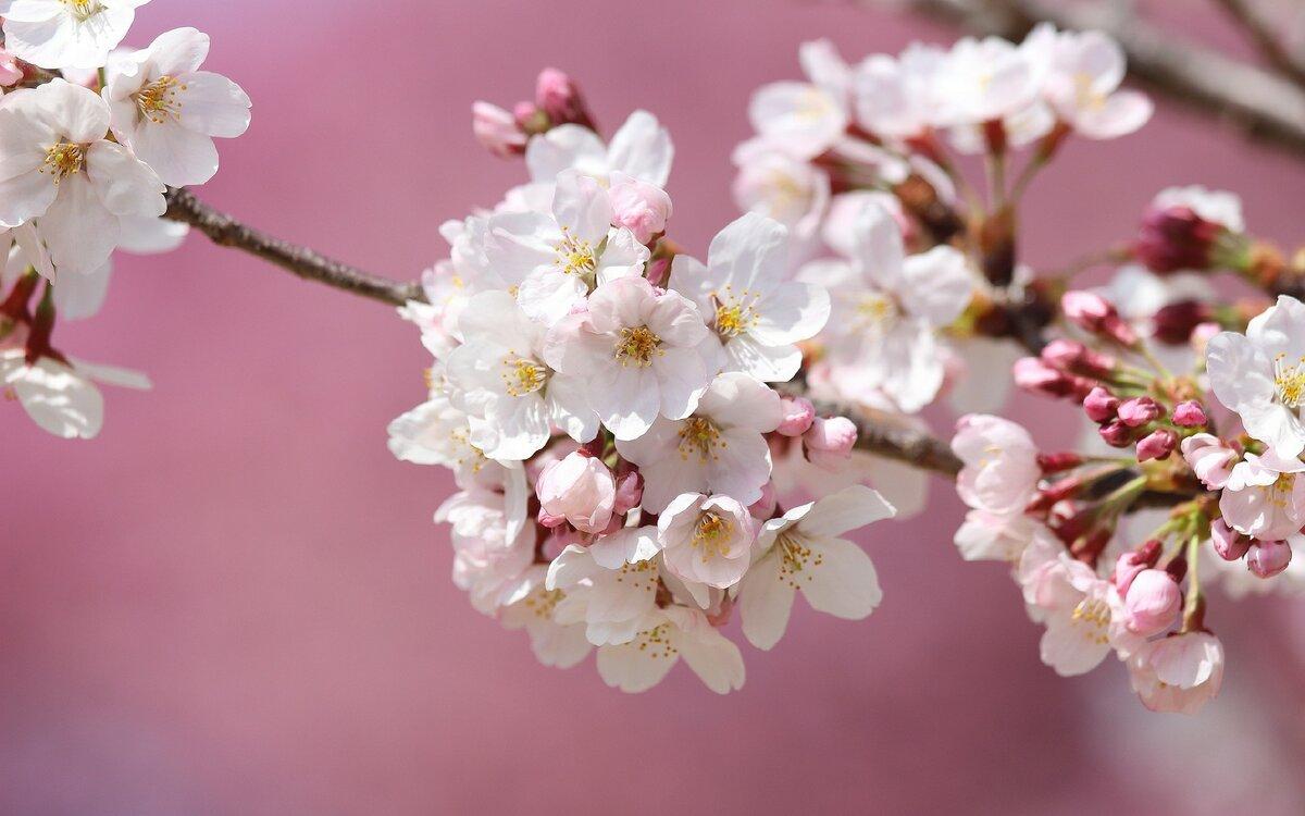 цветы вишни фото картинки все