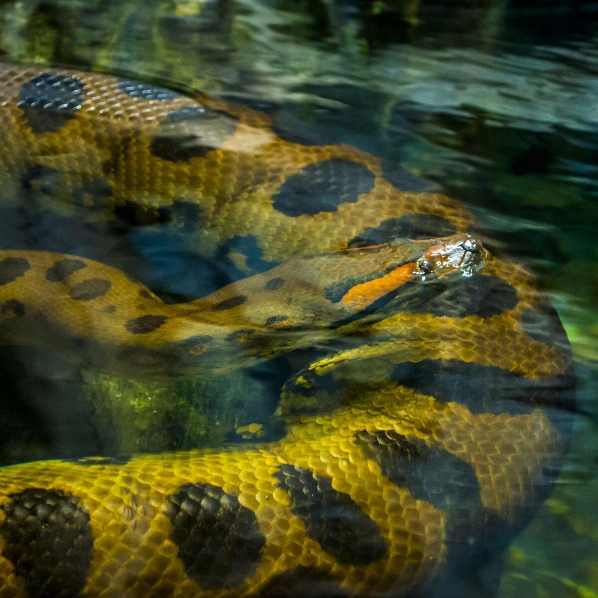 смотреть картинки змеи анаконды всего