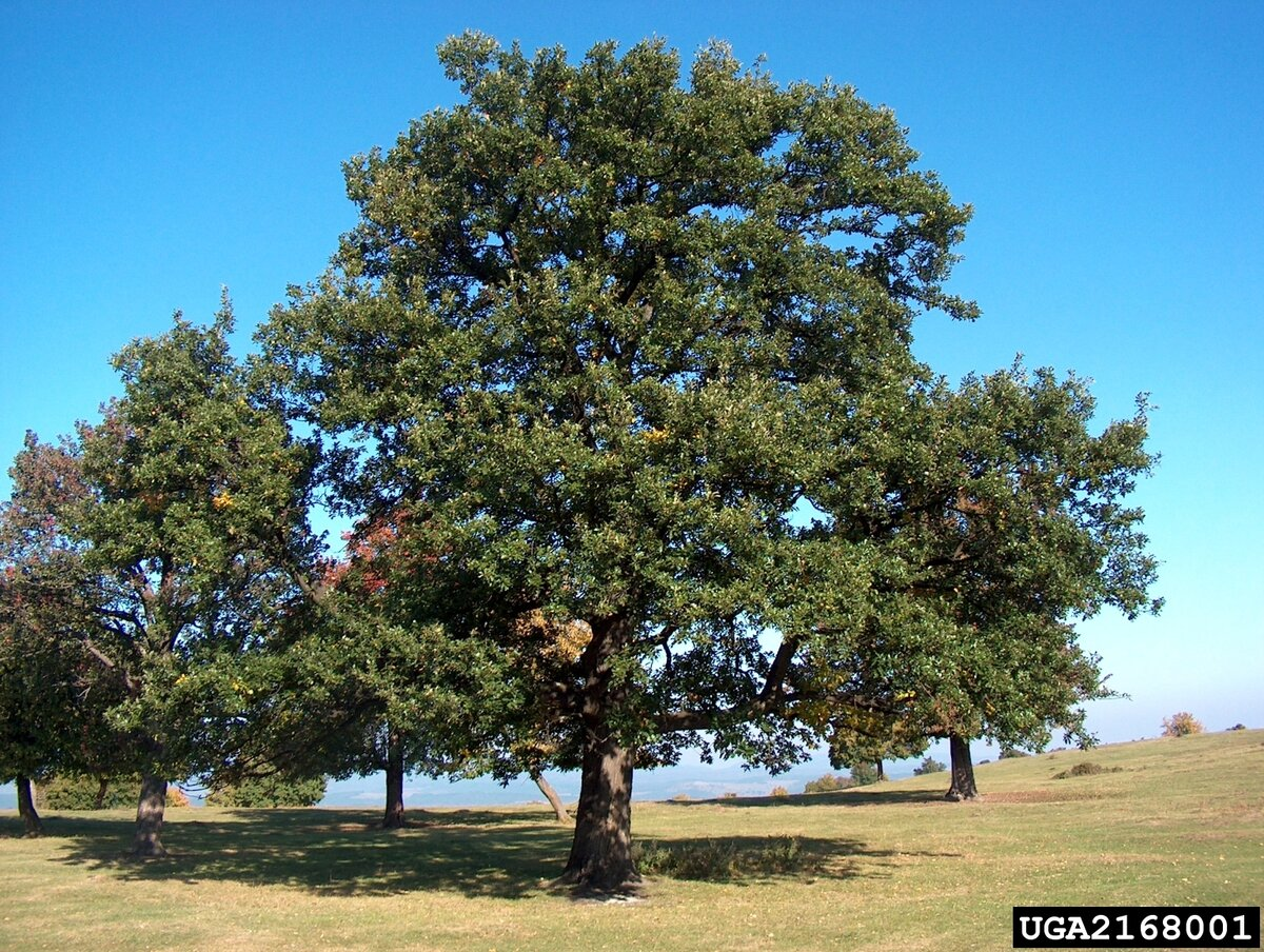 дуб дерево фото и описание зале, как