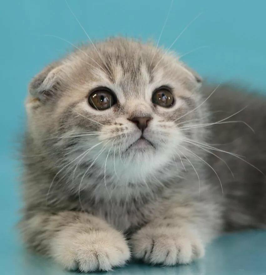 фото фолдов котят целиком, либо