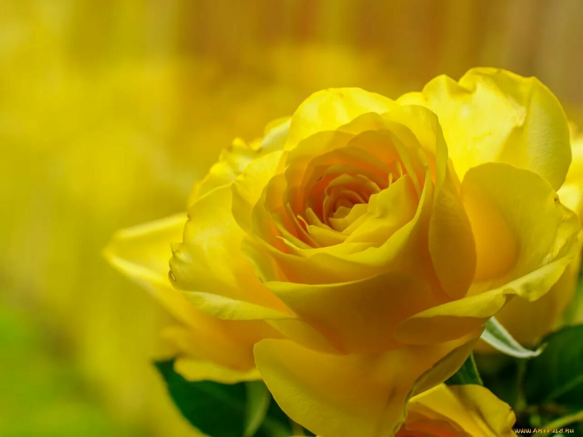 Картинки цветы желтая