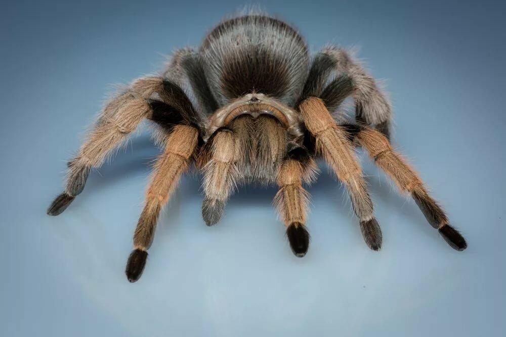 картинки с пауками тарантулами росписи молодожены устроили