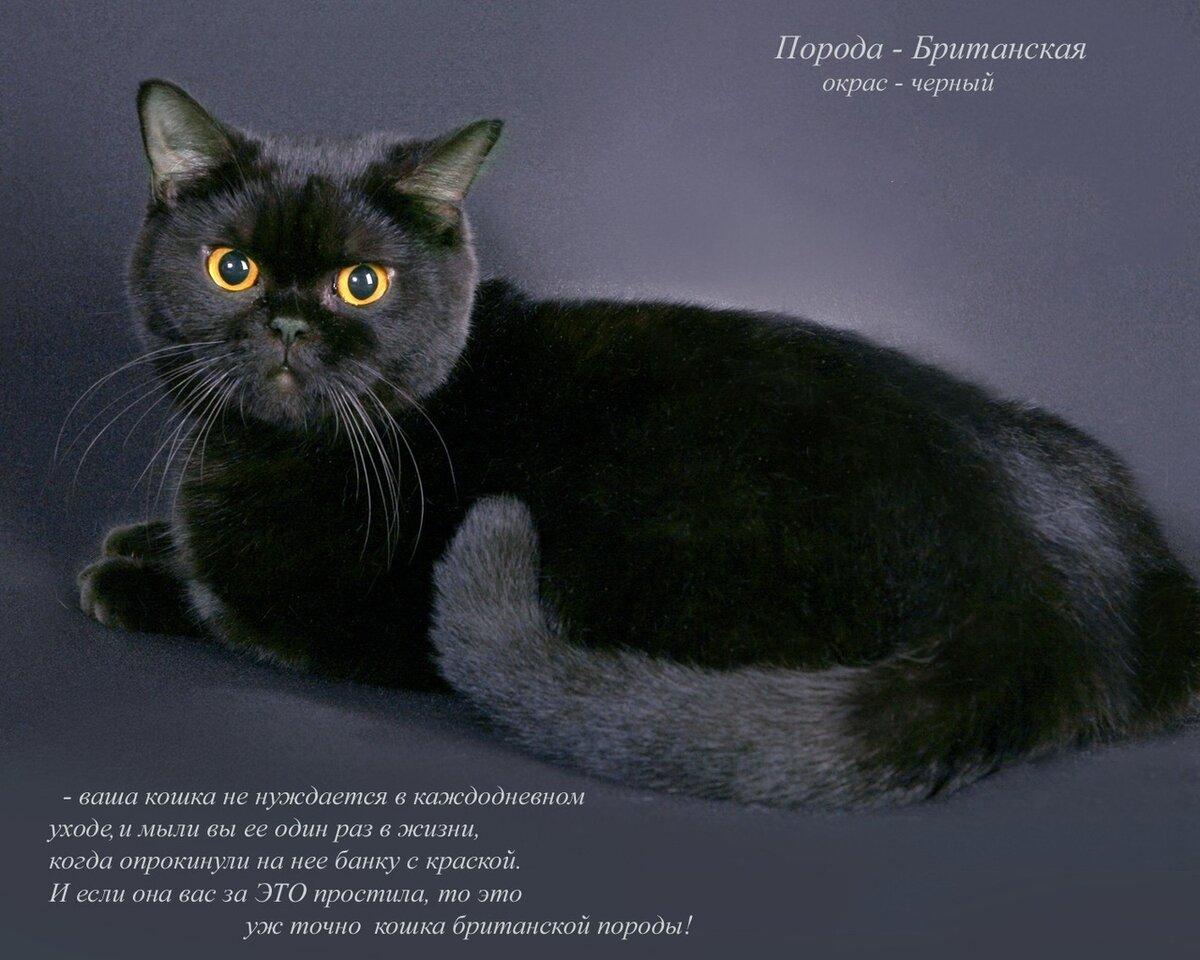 Порода кошек британская фото и описание