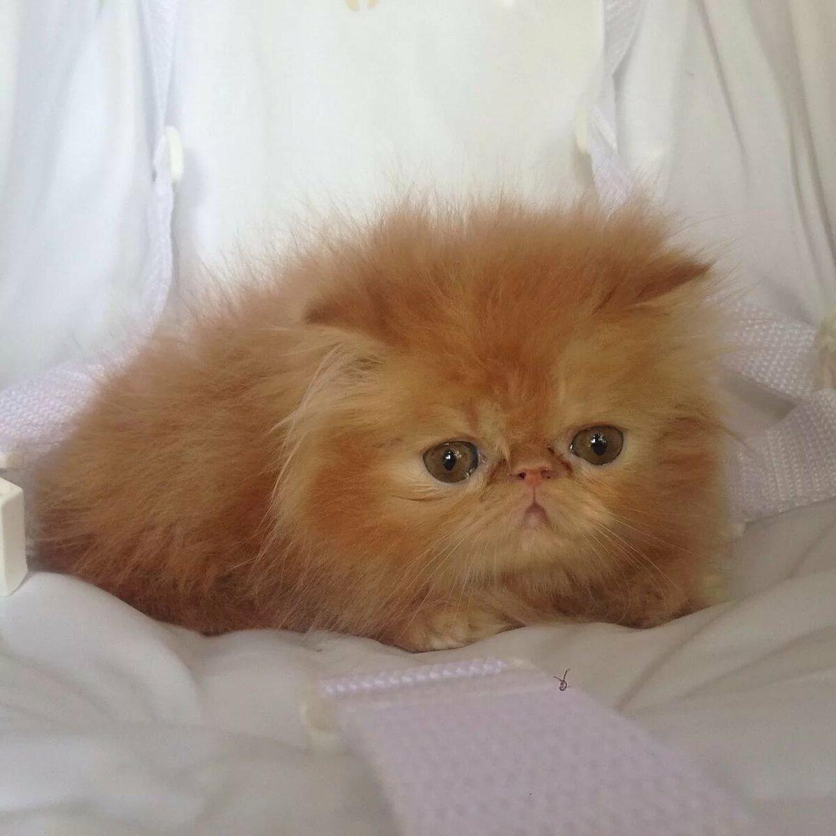 картинки маленький персидский котенок каждые семь