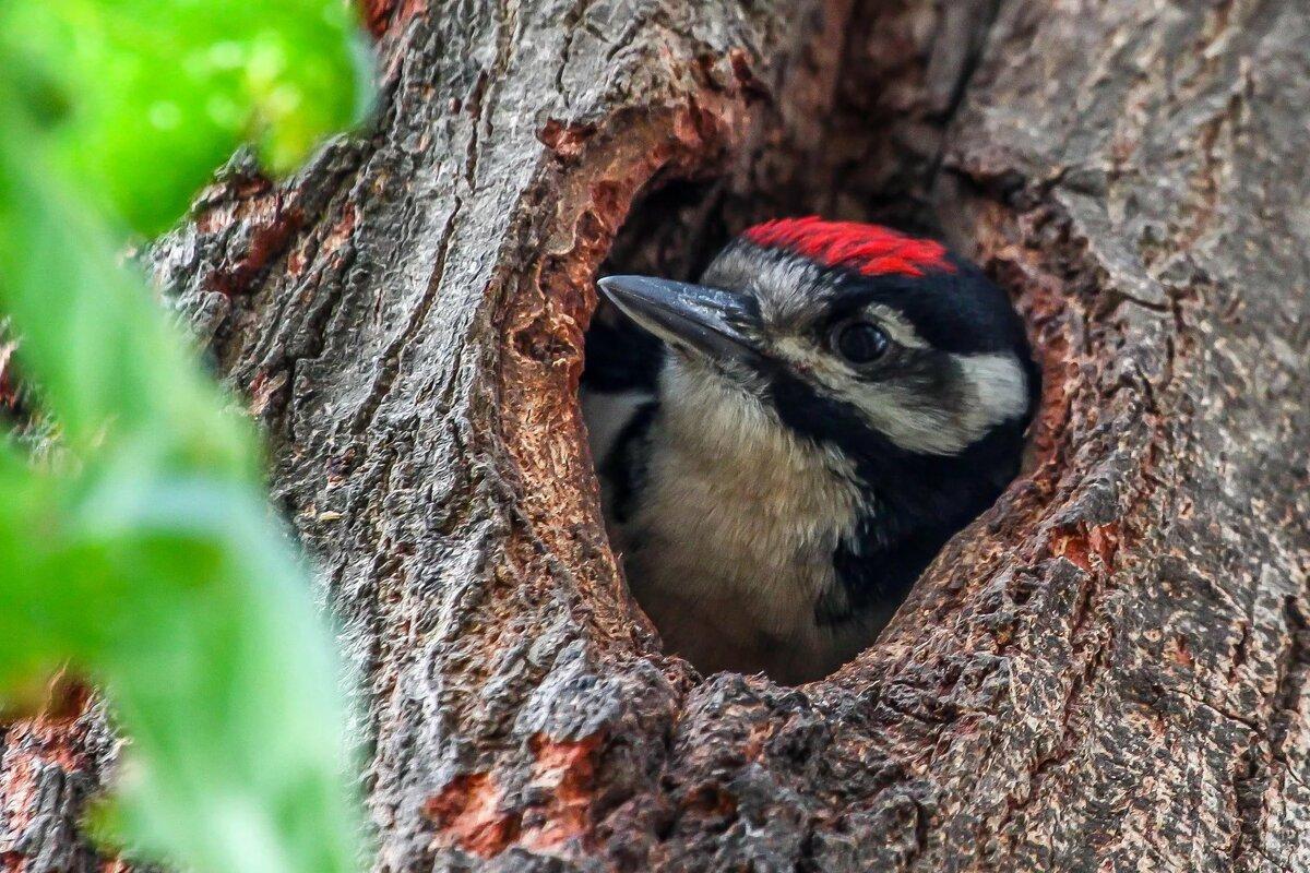 вариант гнездо дятла картинки лапландии взрослых