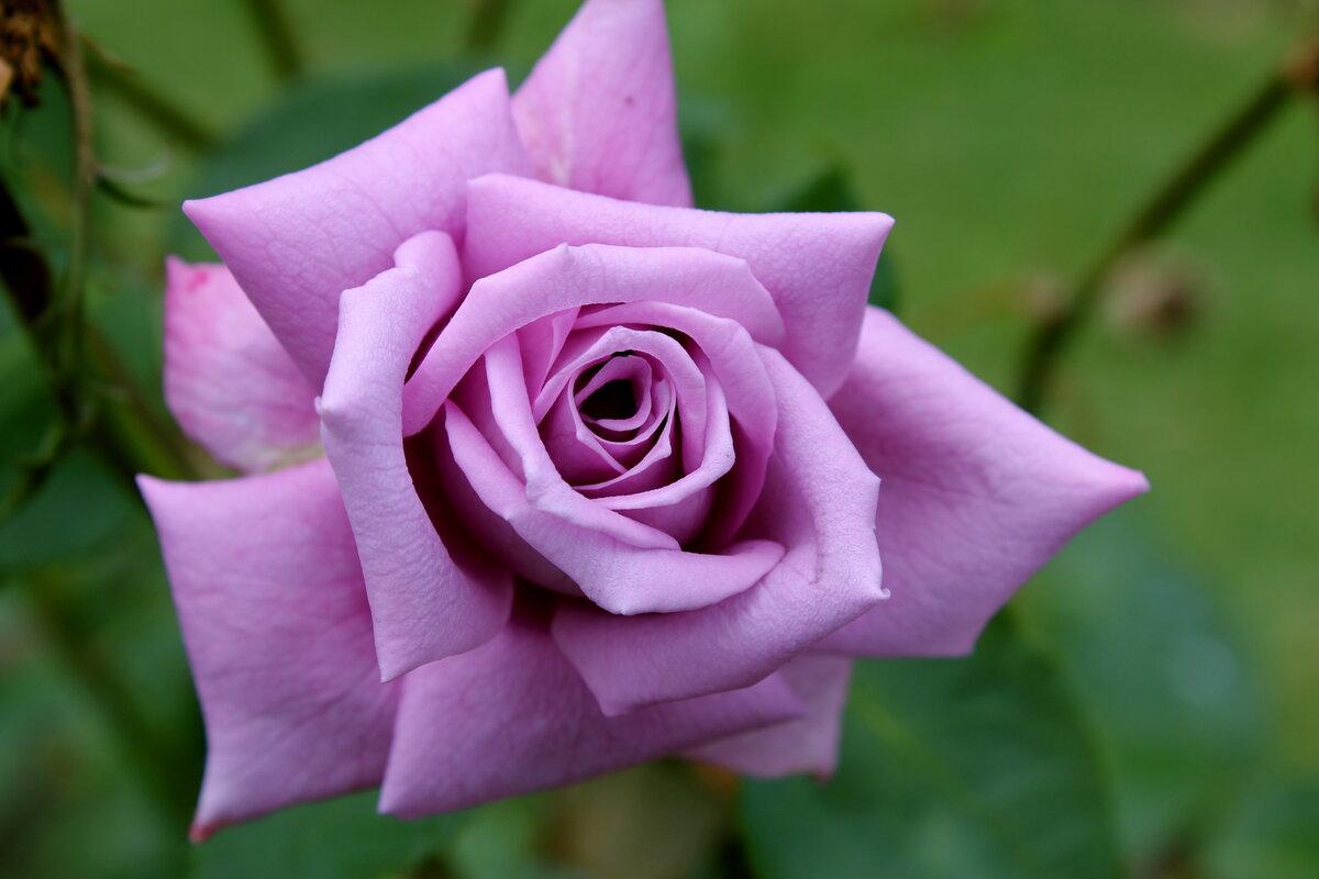 Посмотреть цветы розы картинки