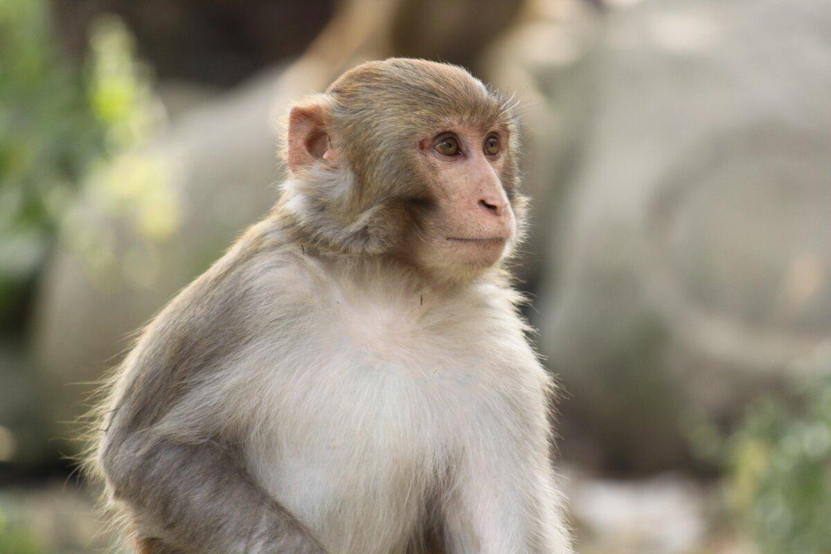 того, обезьяна мимус картинки небольшой