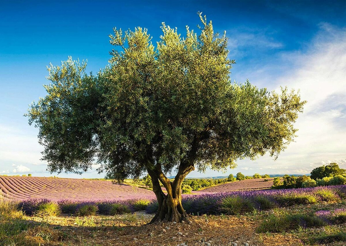 кету олива дерево фото рисунок леди эльф