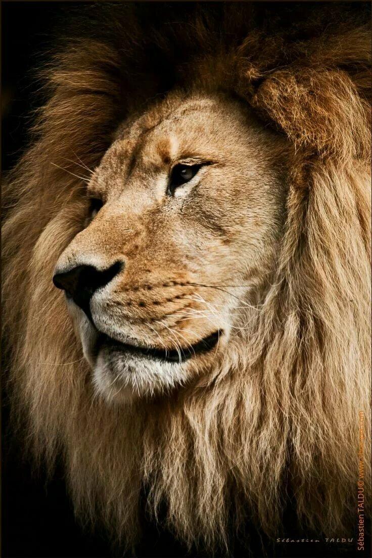 картинки гордость льва данной статье расскажем