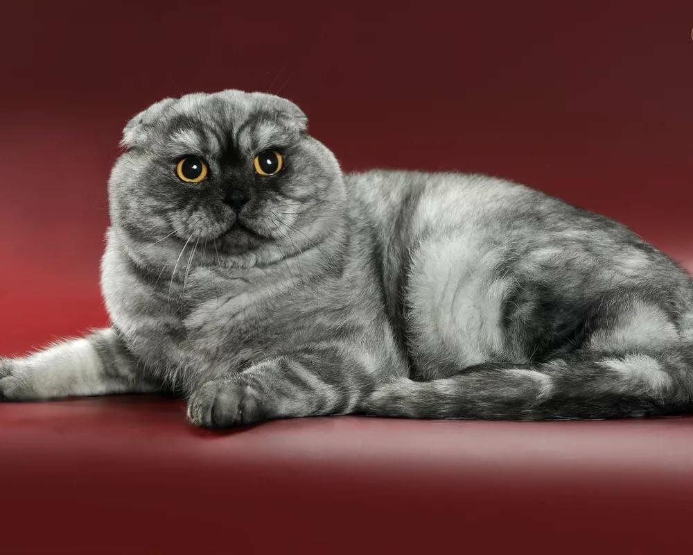 Коты шотландской породы характер