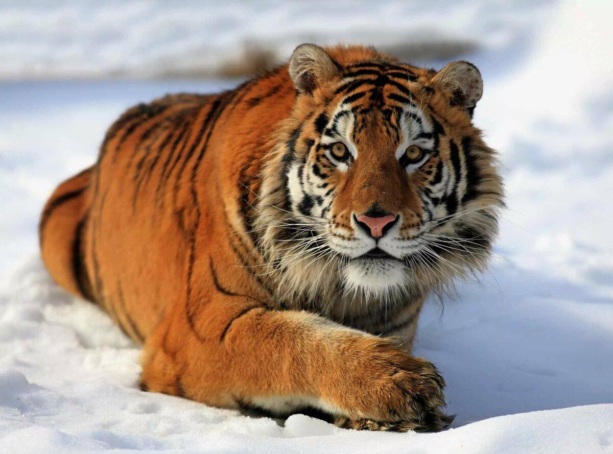 Тигры картинки и описание
