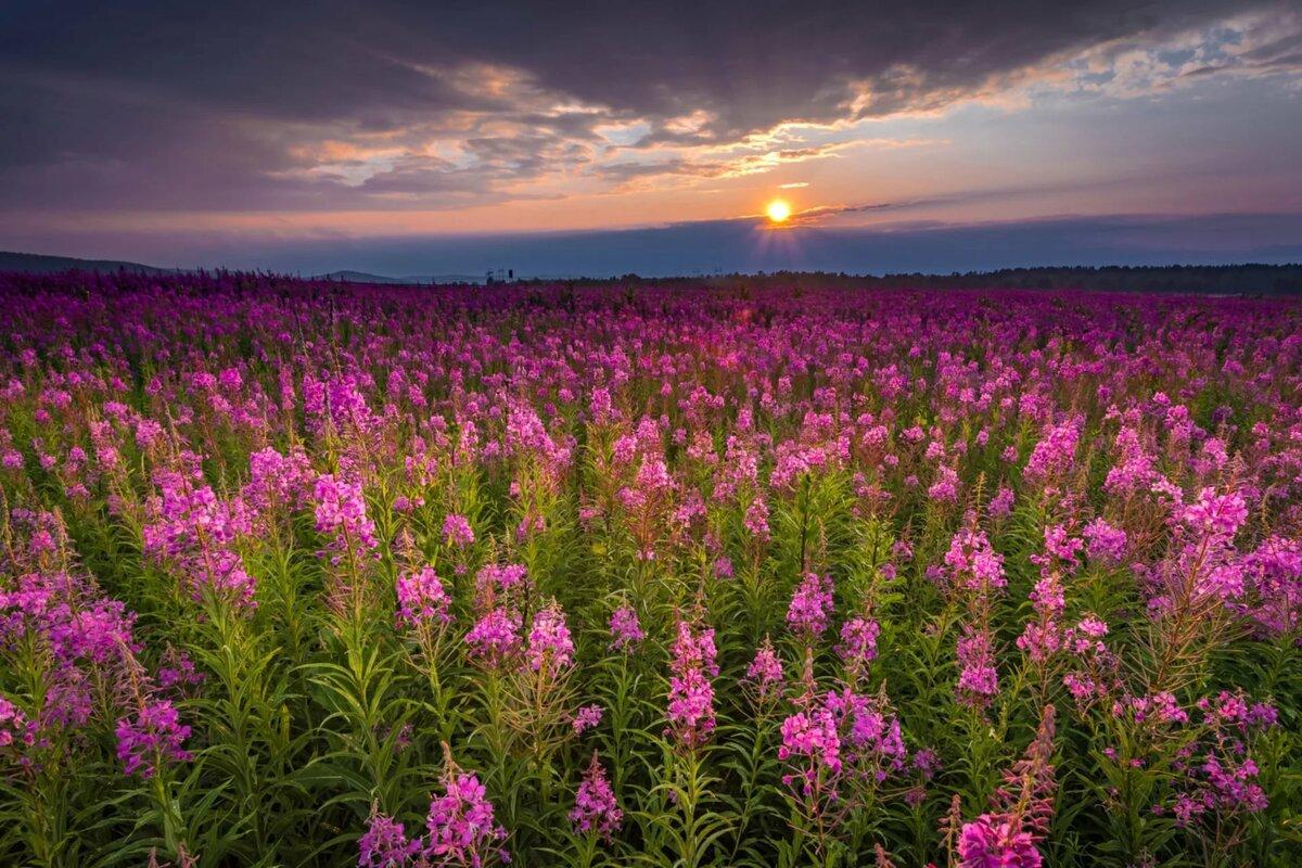 объявлений картинки цветка кипрей играют роль