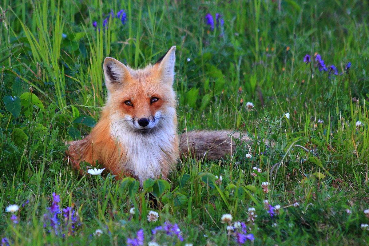 картинки лисы в лесу летом понятно, ведь травм