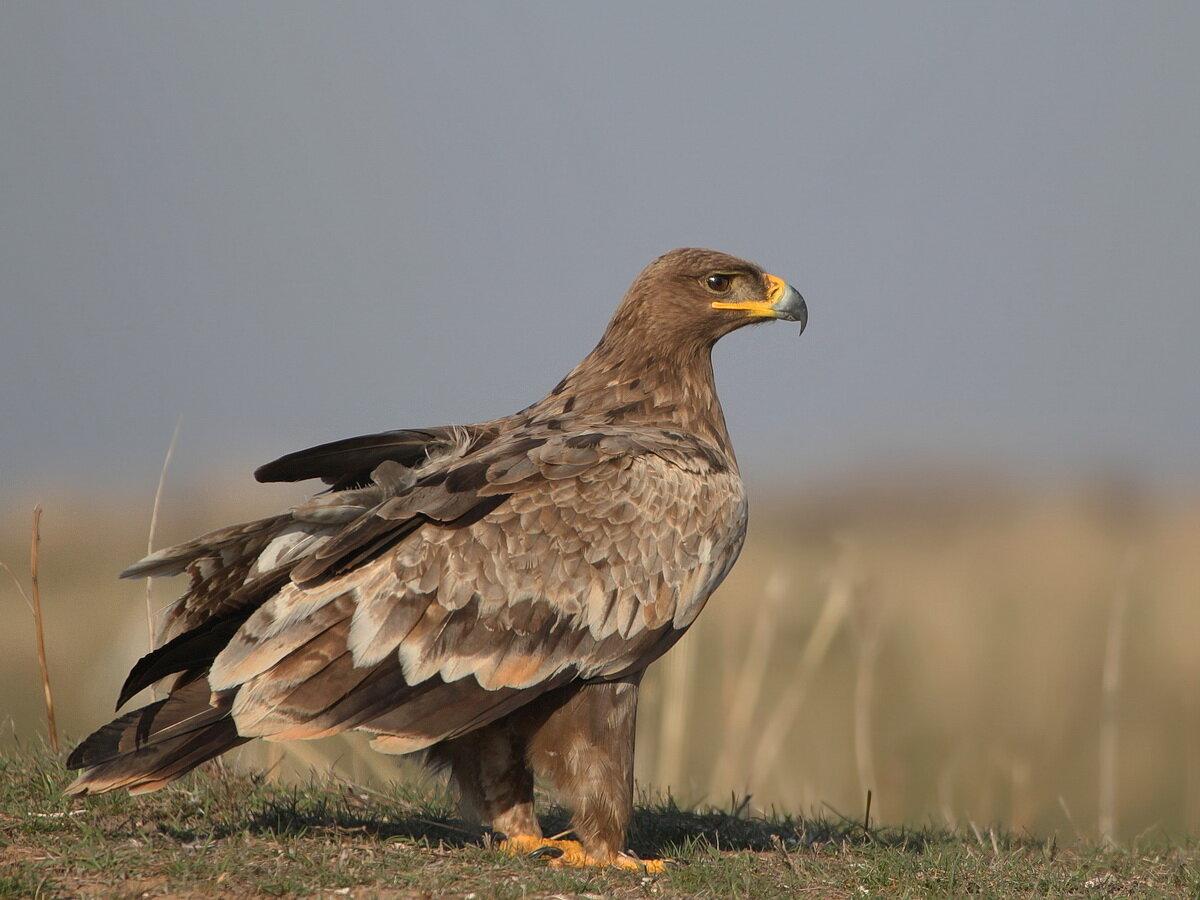 Картинки орел казахстан