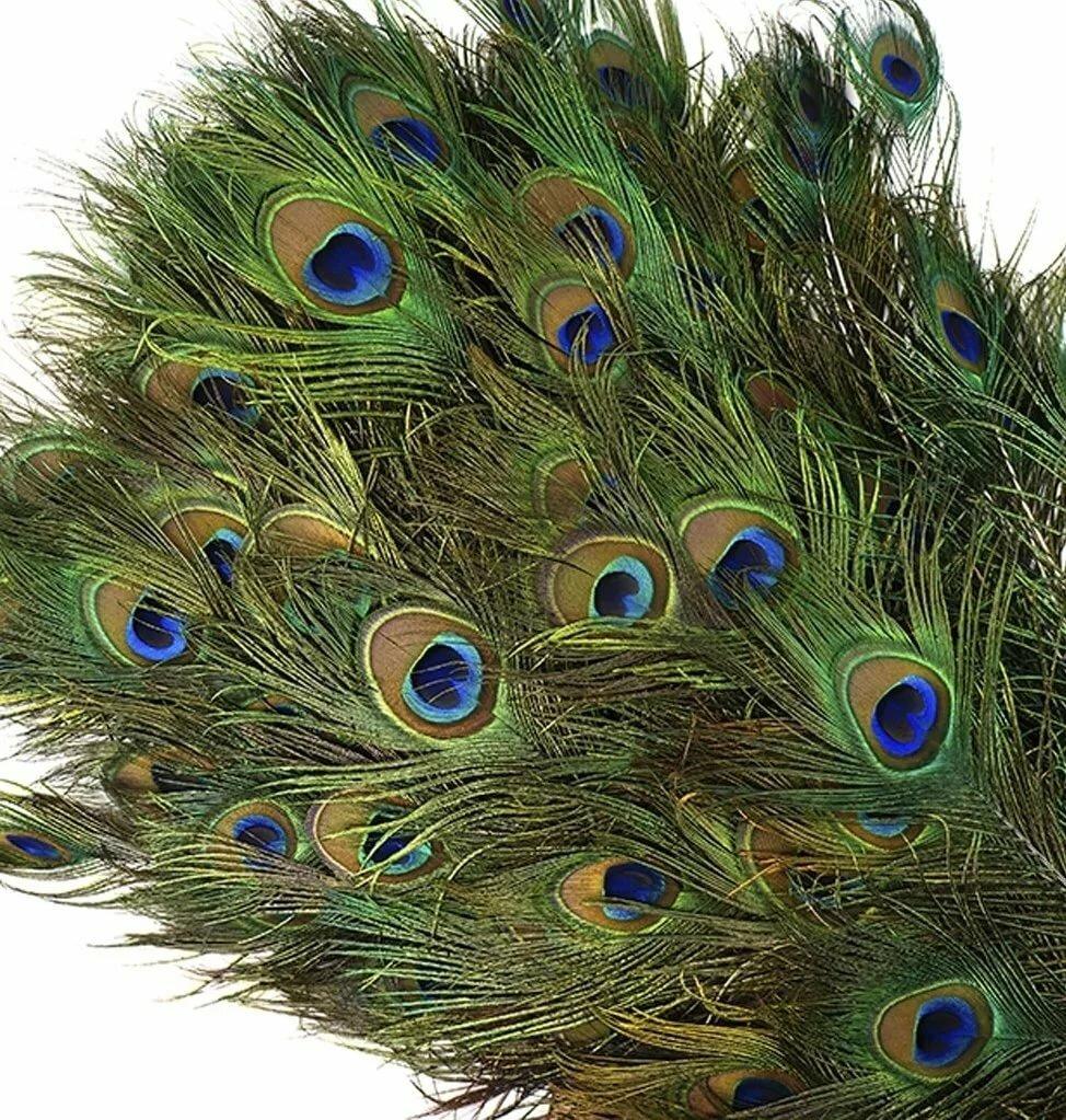 Картинки перьев павлина