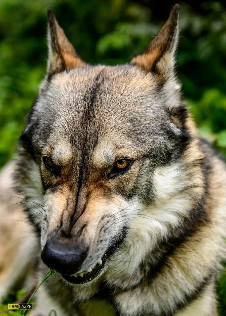 Картинки волков исторические