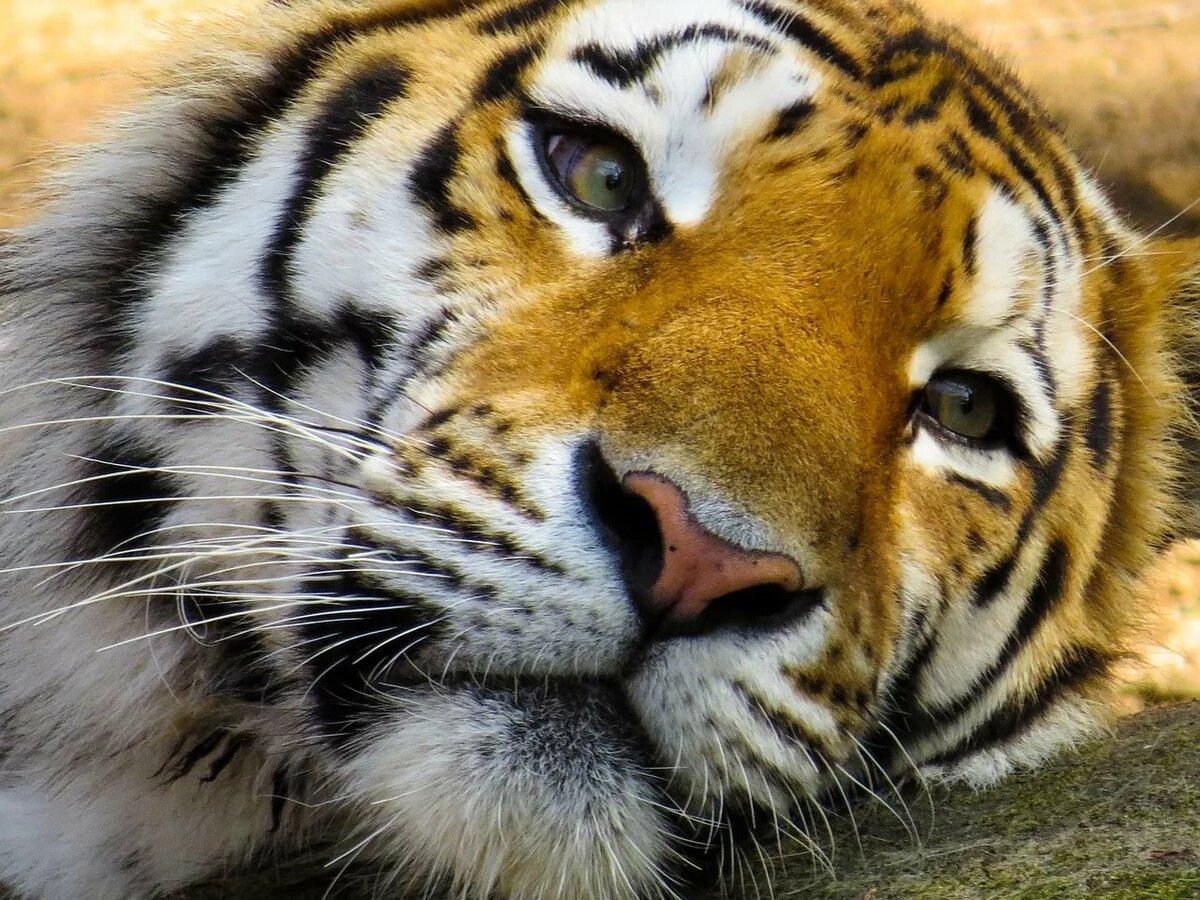 коллектив быстро обиженный тигр фото при выписке оксане