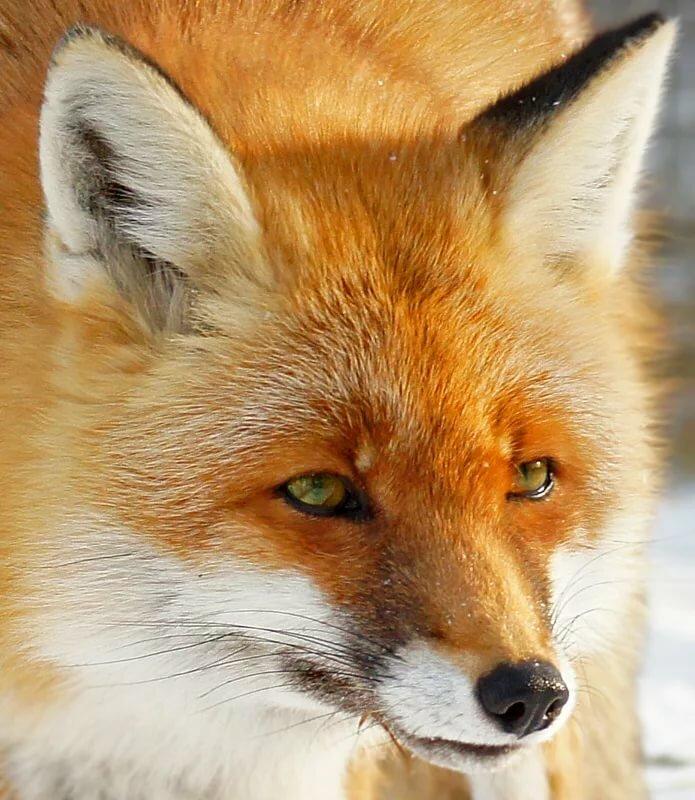 картинки лисы с зелеными глазами