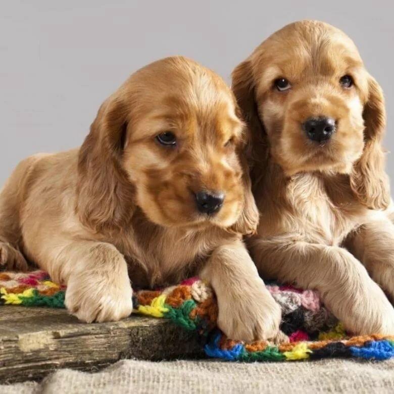 Картинки английский кокер спаниель щенки
