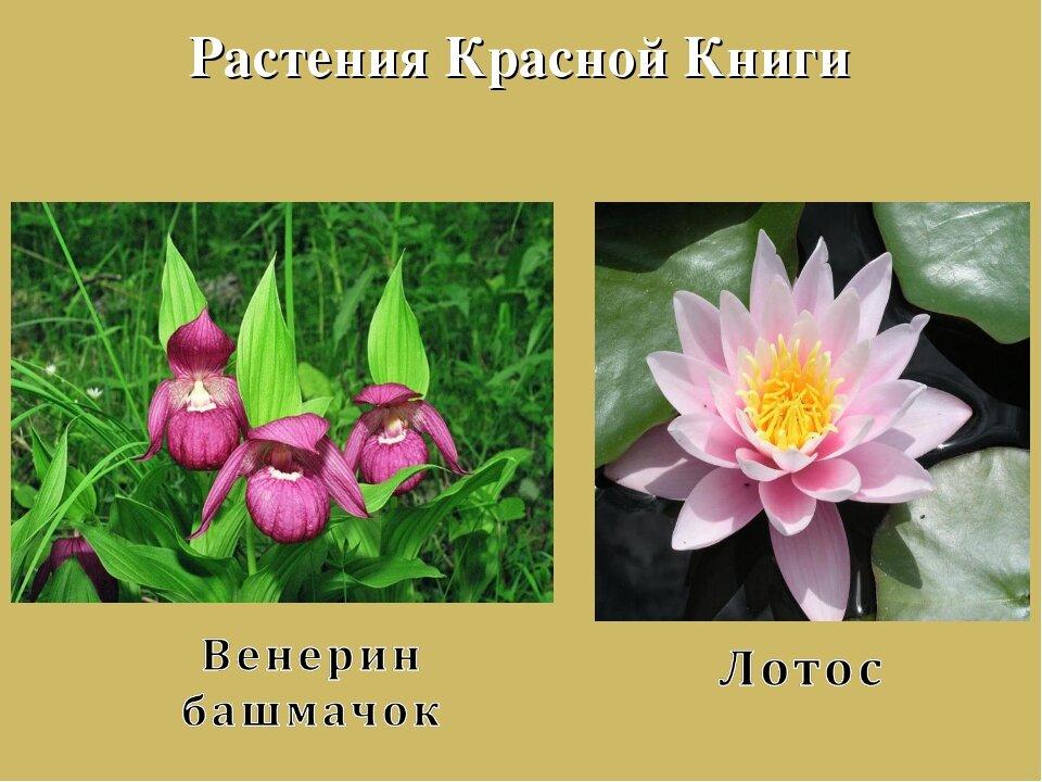 растения в красной книге россии фото и названия крыша всегда