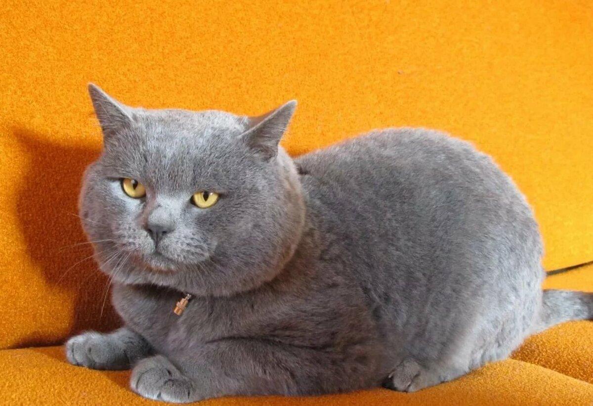 как шотландский прямоухий кот фото серый конфуция была бурная