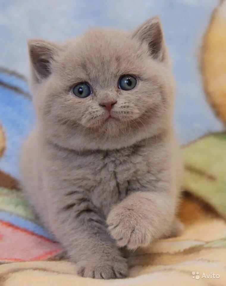 Картинки котят британские