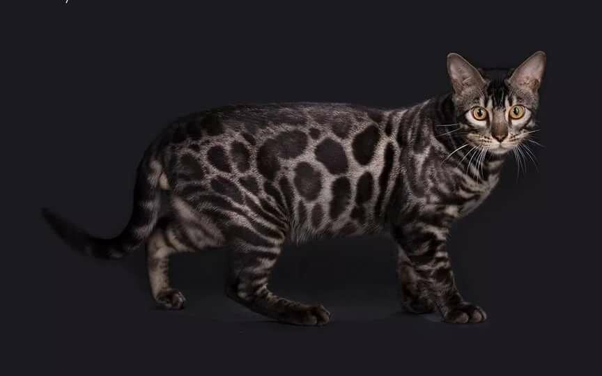 окрасы бенгальской кошки в картинках данному моменту