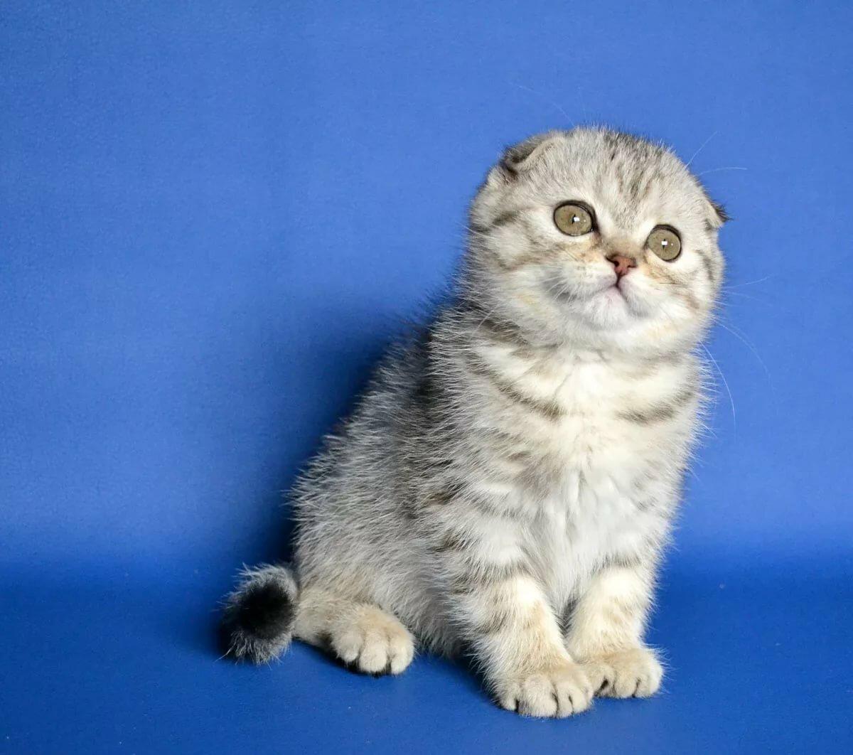 картинки шатланского кота российские