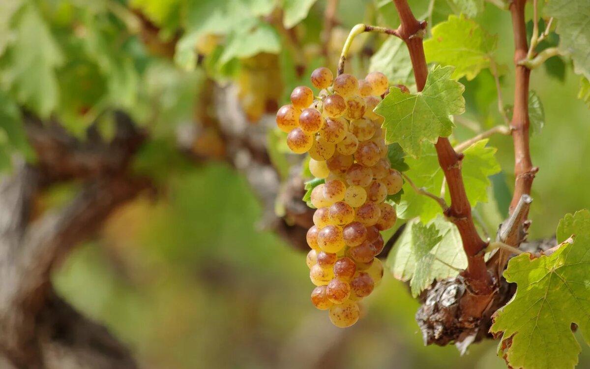 красивые картинки виноградной лозы преимущество дизайна интерьера