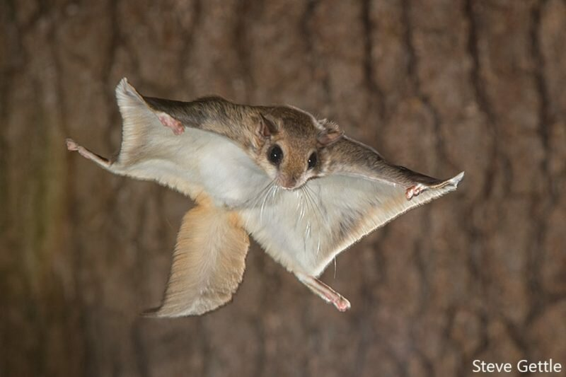 что фото белка летяга в полете стоит