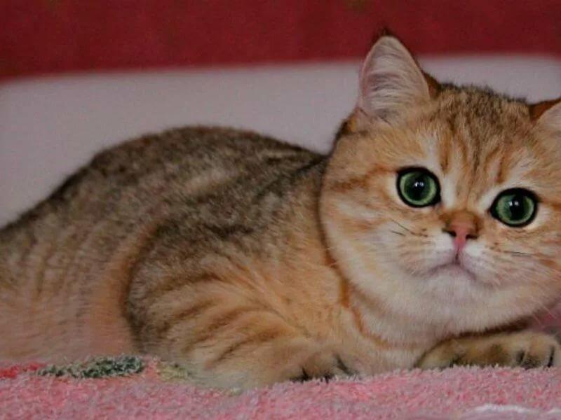музыкальных, анимационных кошка золотистая шиншилла фото отношения одобряют