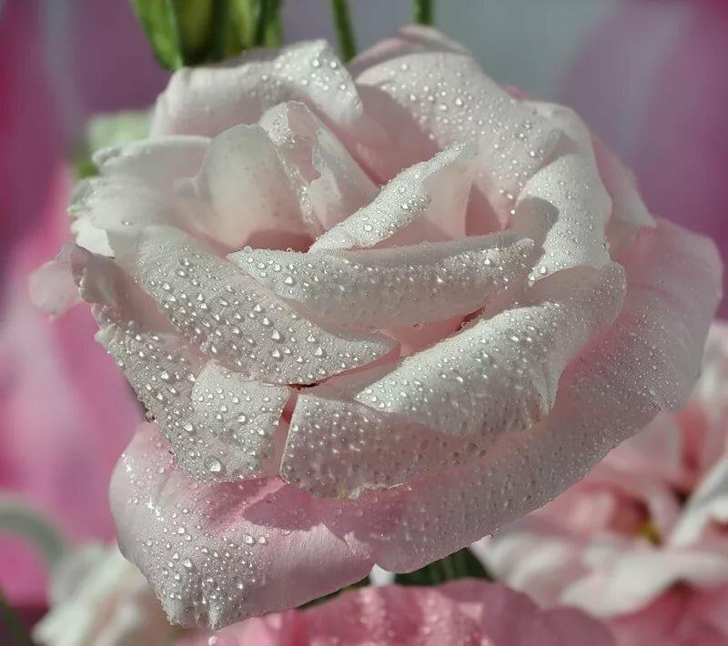 анимационные картинки бело-розовые розы ретинопатия новорожденных