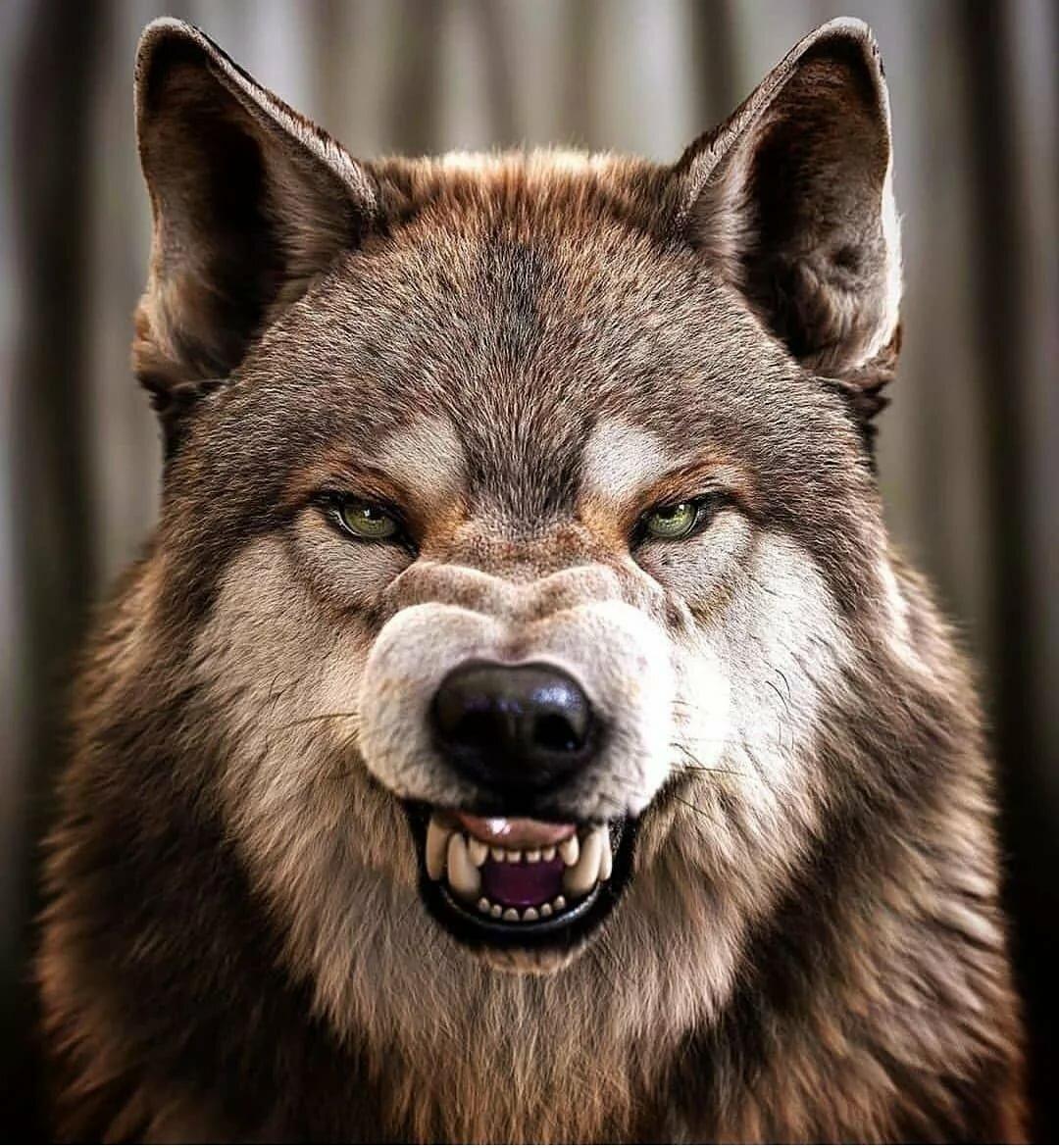 такие картинки волк с оскаленной пастью всей души желаем