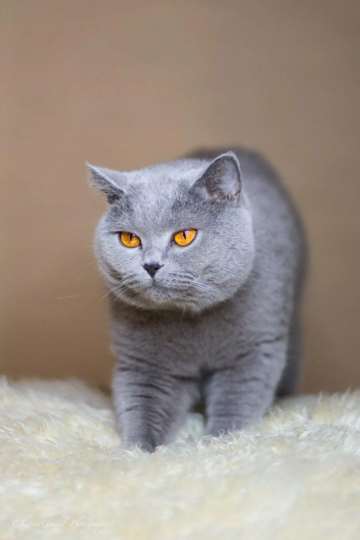 фото кота британца серого можете