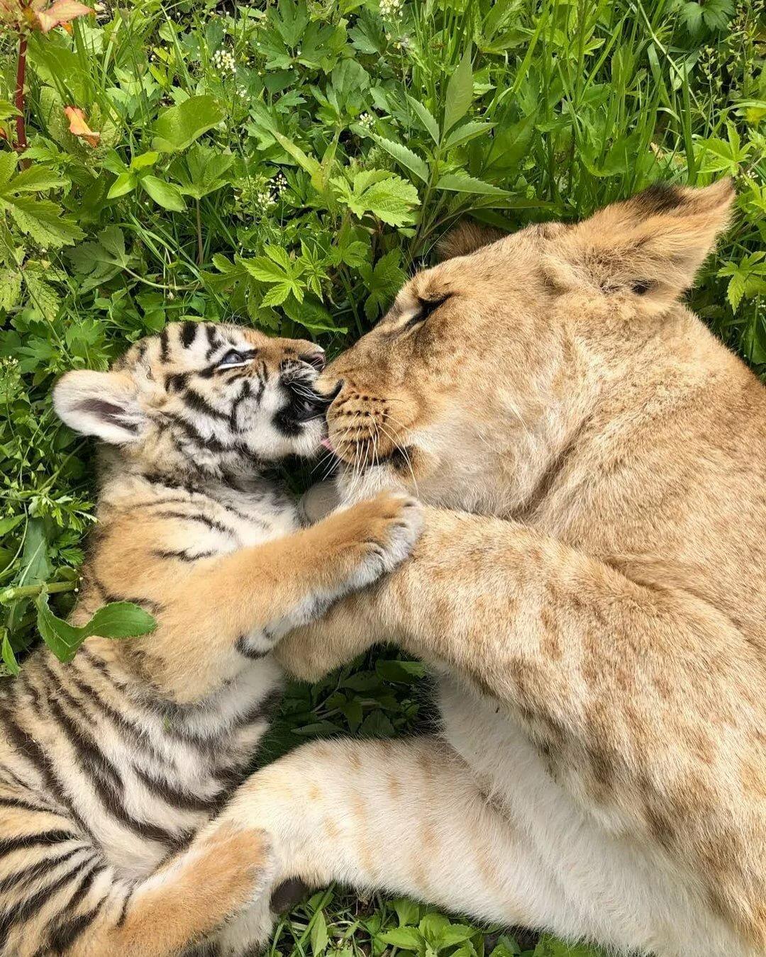 картинки львов и тигров и львиц