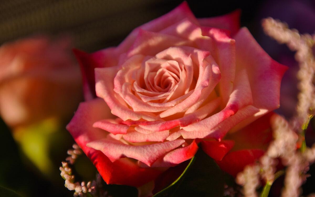 одна картинки на телефон большие розы только свежие, интересные