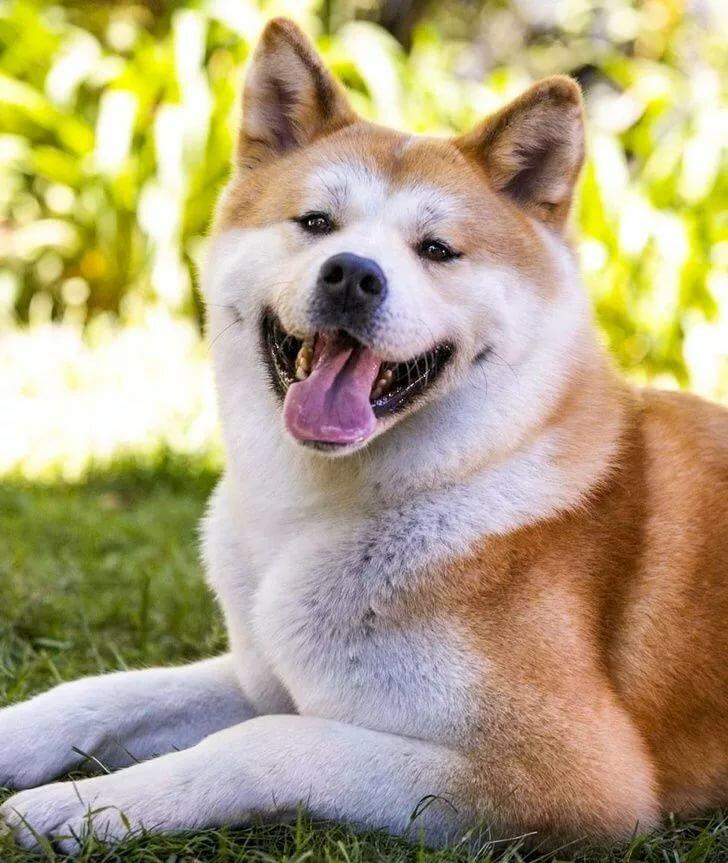 Картинки собаки порода хатико