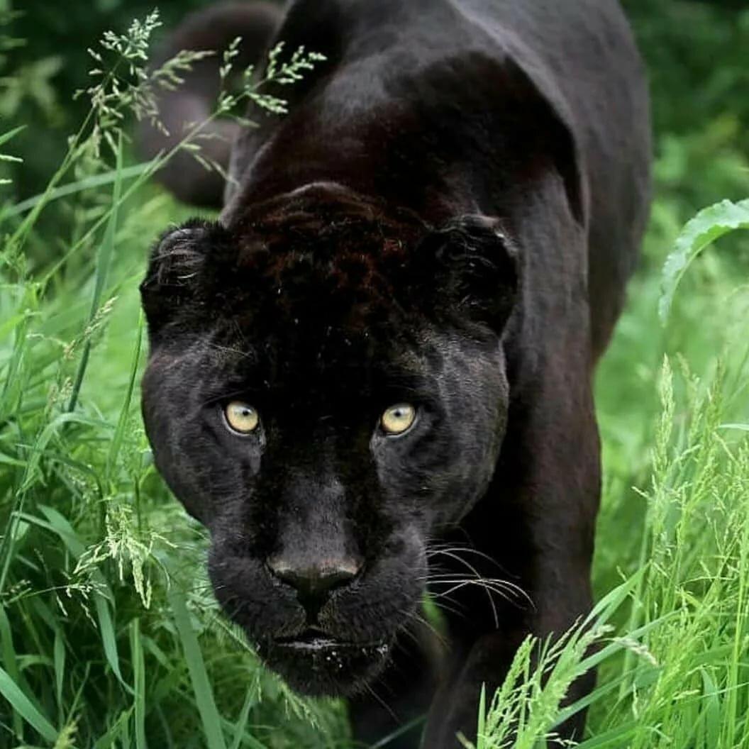 фотографии пантеры львов других крупных кошек предлагаемые нашей