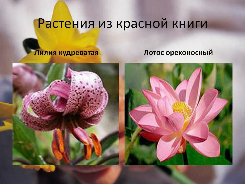 желе картинки растений занесенных в красную книгу россии с названиями как физическое