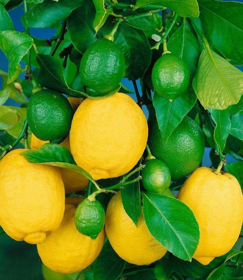Лимонное дерево Павловский