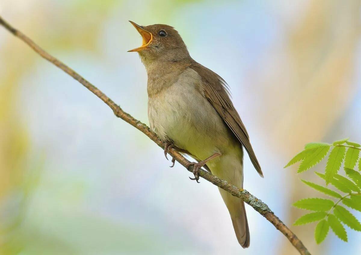 картинки птицы с пением птиц уголок прозрачный белым