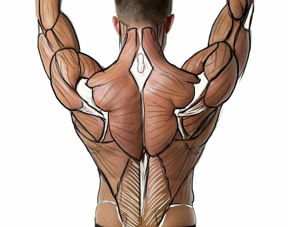 виды, картинки мышцы человека руками тяжелые моменты