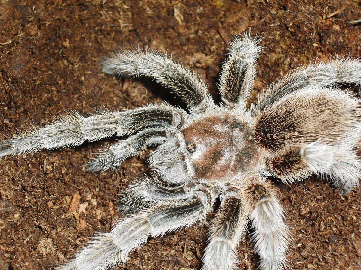 этот ритуал паук птицеед картинка и описание выполнения