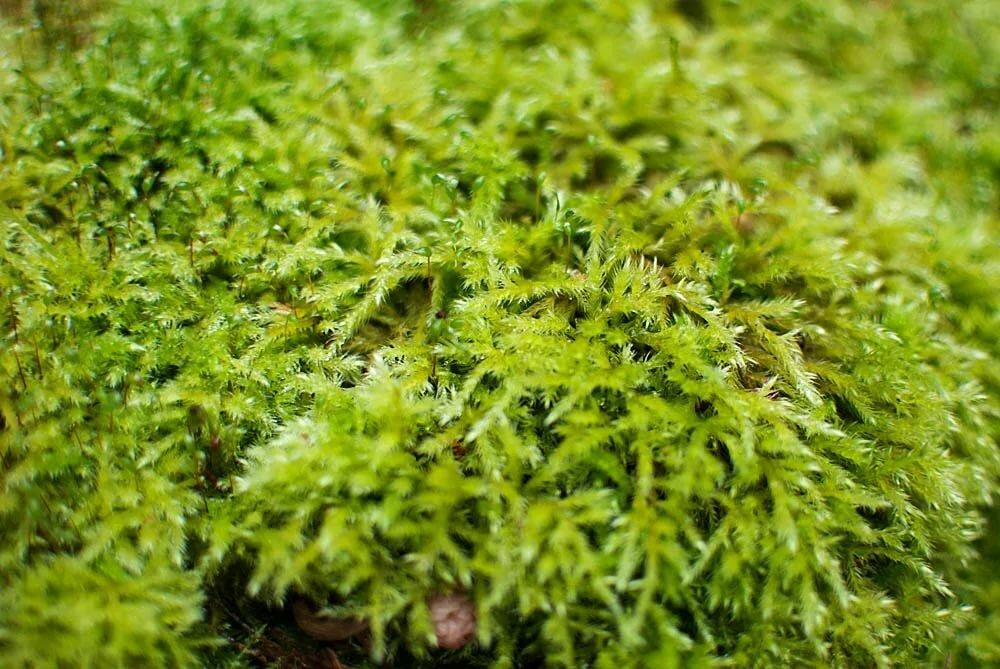 фото и описание мхов в сосновых лесах древней