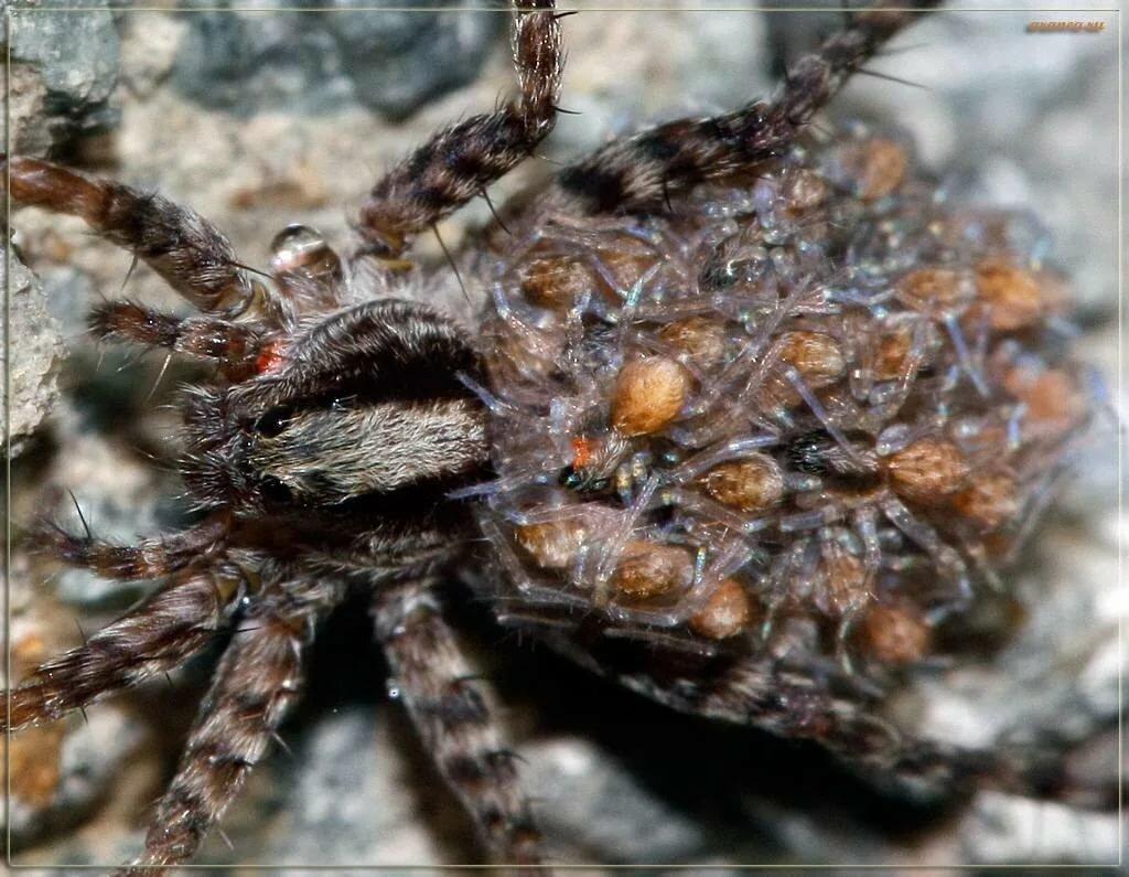 Картинки маленькие тарантулы