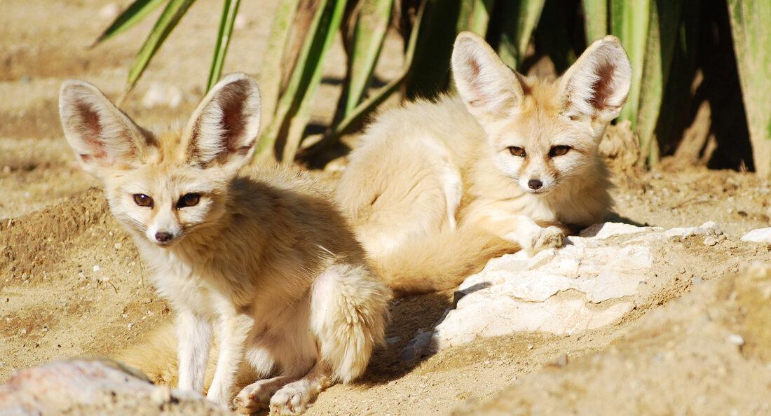 картинки пустынных лисичек работает фрезеровщиком