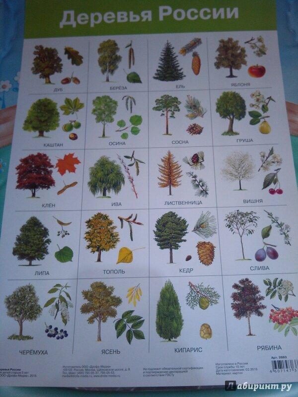 Фото и названия деревьев россии