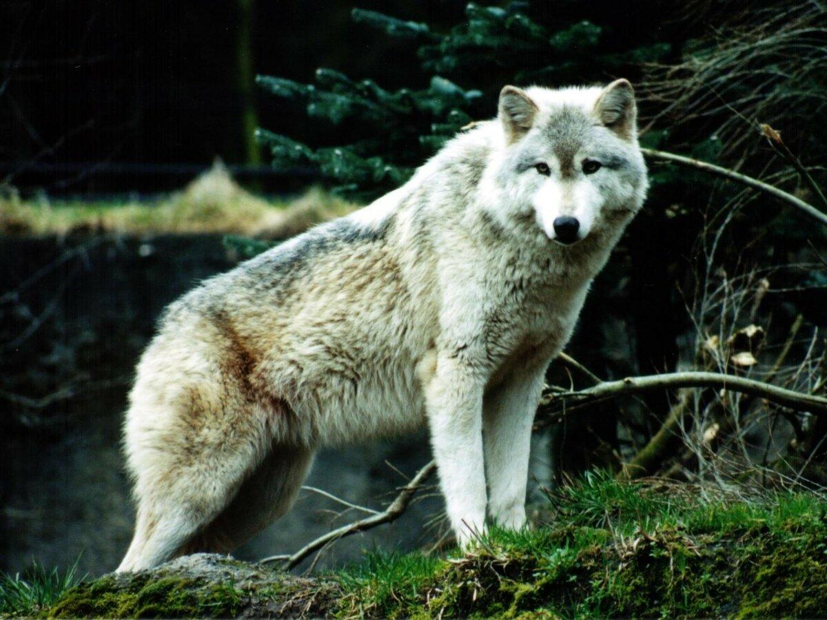 еще самые красивые фотографии волков деморфная бесспорно