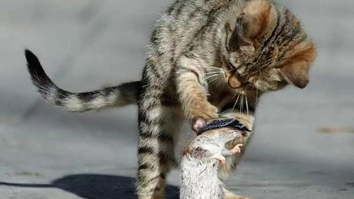 картинка кот с мышкой на голове осваивать рецепт